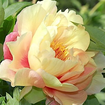 Пион Ито-гибрид 'Канари Бриллиантс' /                                                Paeonia Itoh 'Canary Brilliants'
