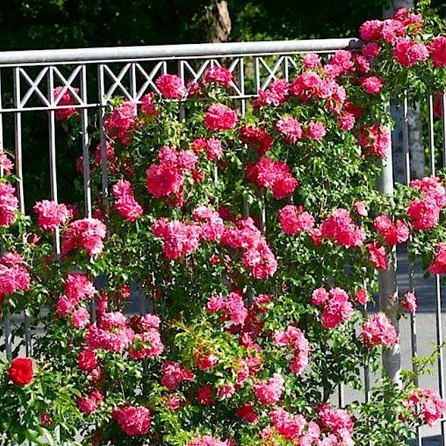 сорта роз флорибунда описание фото