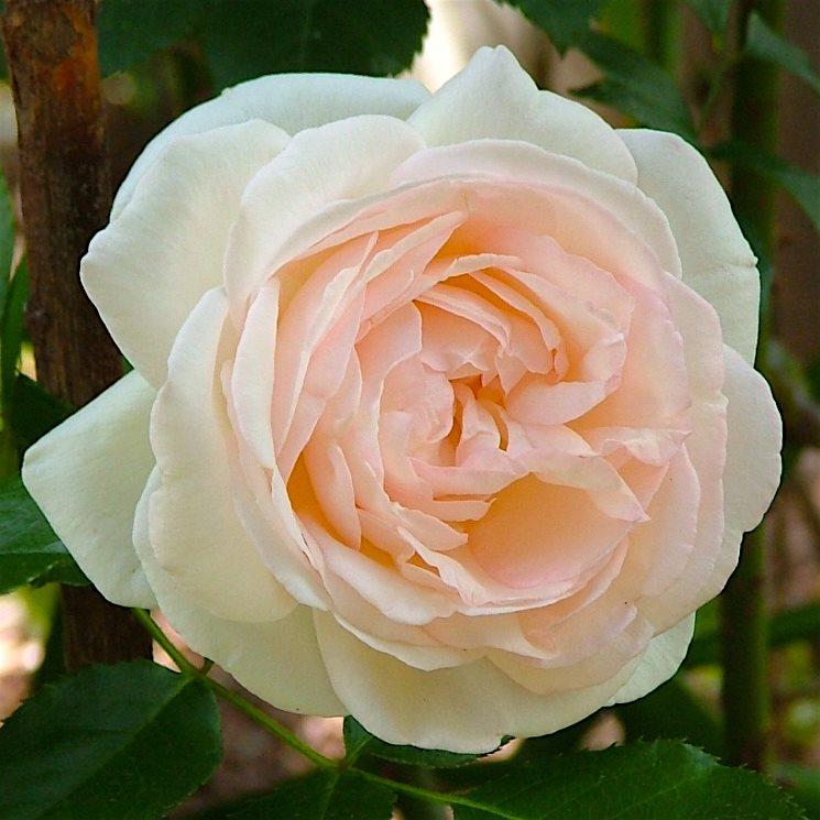 Купить почвопокровные розы фирма мейян скачать бесплатно песня в подарок на юбилей