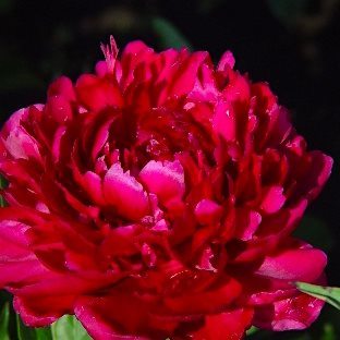 Пион  'Биг Рэд Бумер Сунер'  /                                      Paeonia hybrida 'Big Red Boomer Sooner'