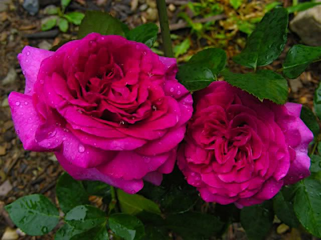 Роза шартрёз де парм