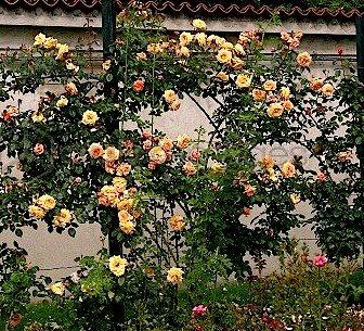 роза барок фото и описание
