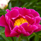 Пион 'Клаун' / Paeonia hybr. 'Clown'