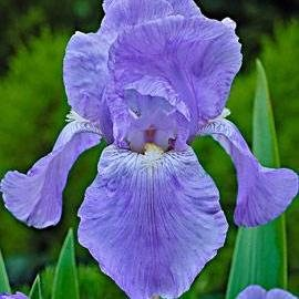 Ирис 'Джэйн Филипс' / Iris germanica 'Jane Phillips'