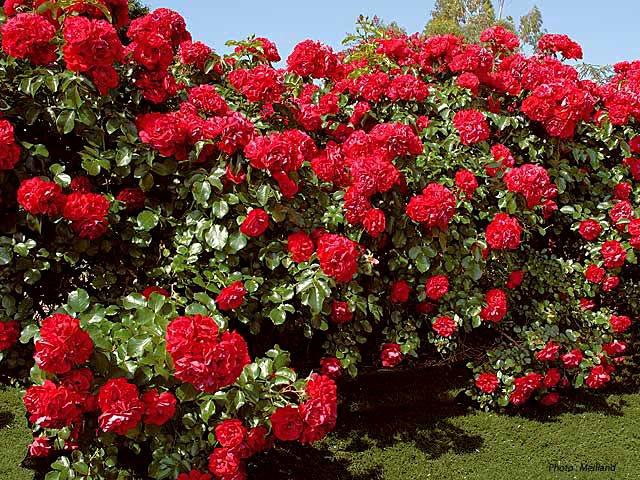 Роза colossal meidiland