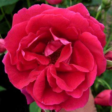 Роза канадская парковая катберт грант