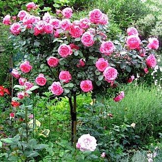 Роза почвопокровная фейри rosе the fairy. Роза почвопокровная фейри. Роза флорибунда априкола rose apricola. Роза флорибунда априкола. Роза флорибунда кисс rosa kiss. Роза флорибунда кисс. Роза флорибунда леонардо да винчи rose leonardo de vinci. Роза флорибунда леонардо да винчи.