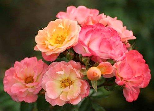 Роза дрифт купить