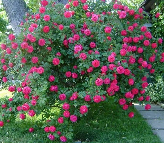Купить канадская роза джон дэвис