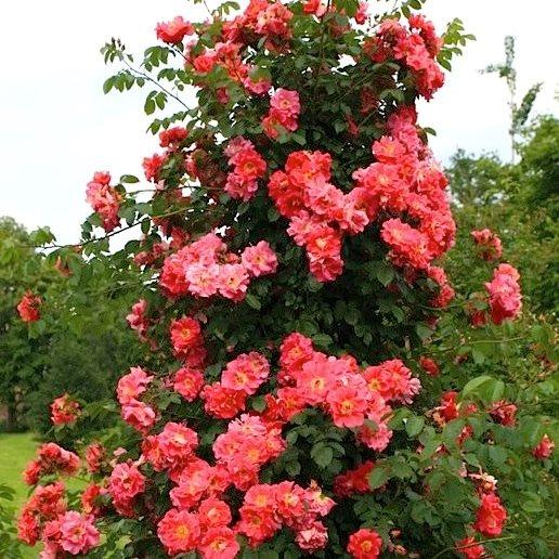 Розы кордес плетистые