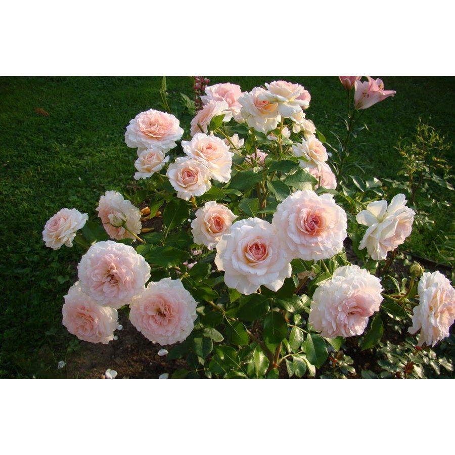 лилии розовые фото