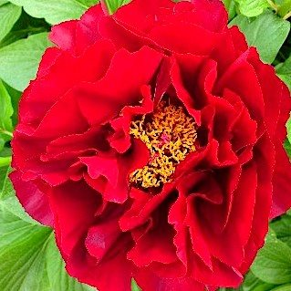 Пион  'Макино Гранд' / Paeonia hybrida 'Mackinac Grand'
