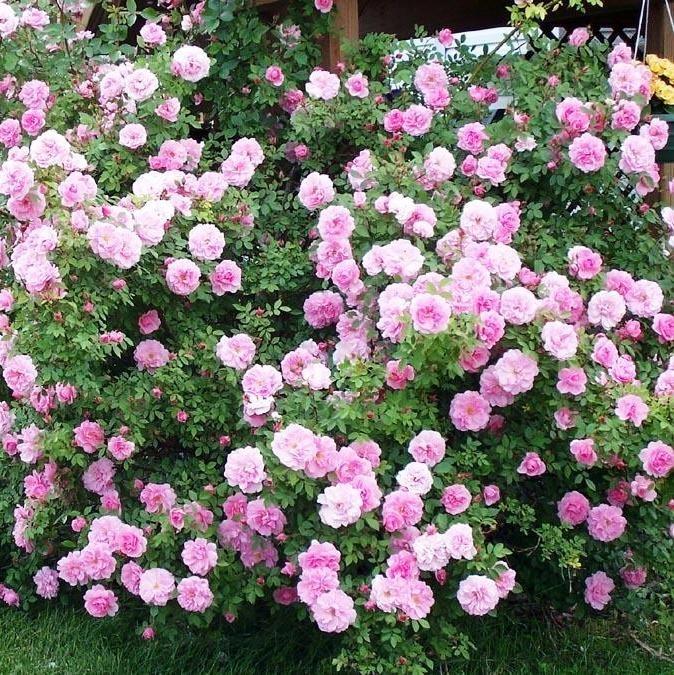 Купить канадские розы екатеринбург купить дешевые цветы в минске