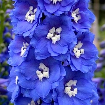 Дельфиниум   Новозеландский  'Ройял Аспирэйшнс'  /    Delphinium    Royal Aspirations