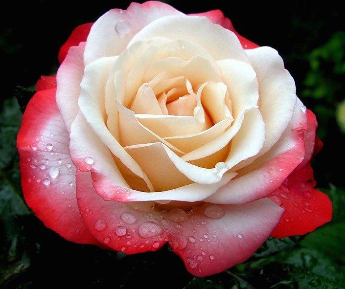 роза ностальжи описание и фото