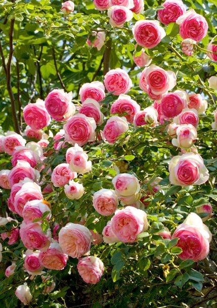 Пьер де ронсар роза плетистая