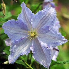 Клематис 'Блю Ангел' / Clematis 'Blue Angel'