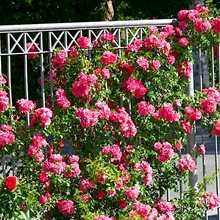 Graciosa роза купить