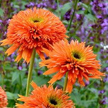 Эхинацея 'Колорберст Оранж' /   Echinacea 'Colorburst Orange'