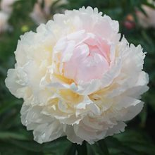 Пион 'Бразэ Чак' / Paeonia lactiflora 'Brother Chuck'