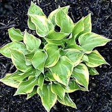 Хоста 'Лэйксайд Скэмп' / Hosta hybride 'Lakeside Scamp'