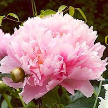 Пион  'Анжел Чиикс' /  Paeonia lactiflora 'Angel Cheeks'