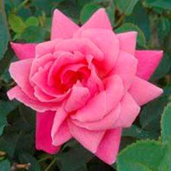 Купить саженцы канадских роз в москве, цветы доставка автозавод