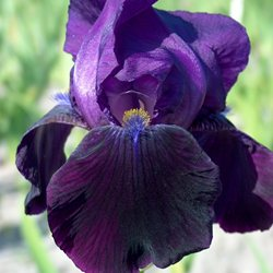 Ирис 'Блэк Сван' / Iris germanica 'Black Swan'