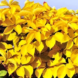 Виноград пятилисточковый  'Йеллоу Уолл' / Parthenocissus quinquefolia 'Yellow Wall'