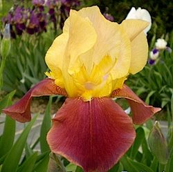 Ирис 'Бродвэй Стар' / Iris germanica 'Broadway Star'