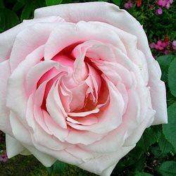 Розы питера билса